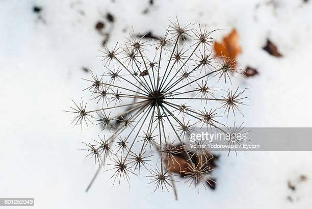 Close-Up Of Wilted Dandelion On Snow Covered Field