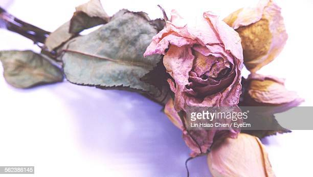 Close-Up Of Wilted Roses