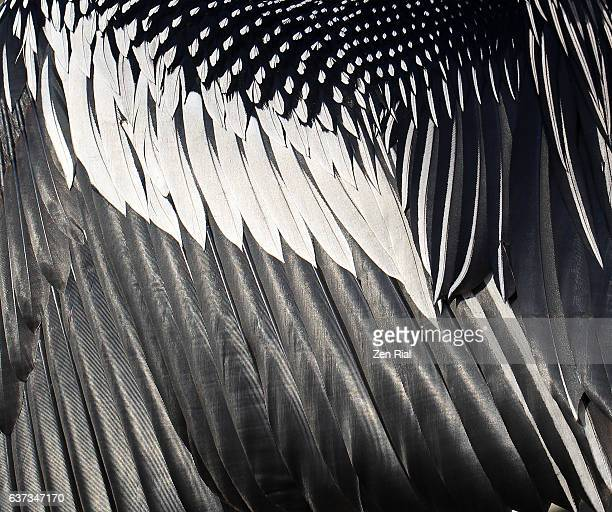 Close-up of wing feathers of Anhinga, Snakebird, Darter, American darter, or Water turkey