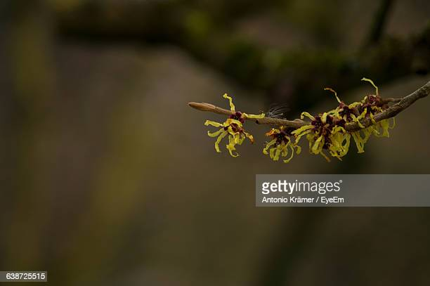 Close-Up Of Witch-Hazels In Forest