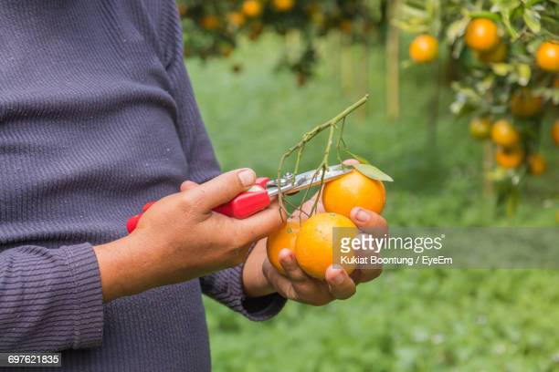Close-Up Of Woman Harvesting Oranges