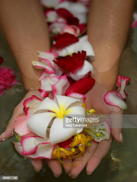 Close-up of woman's hands holding frangipani flowers (Plumeria)