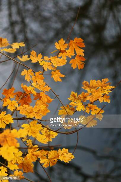Close-Up Of Yellow Autumn Tree