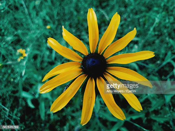 Close-Up Of Yellow Back Eyed Susan Flower
