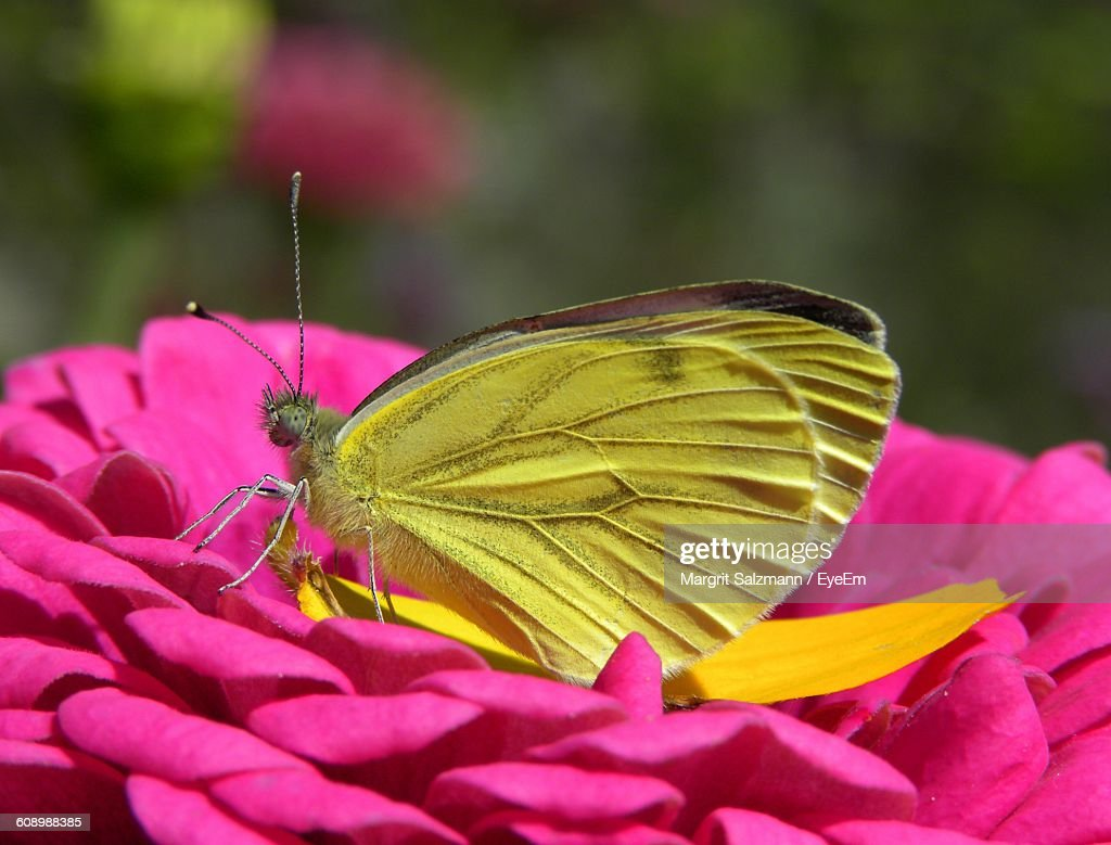 closeup of yellow butterfly on pink flower stock photo getty images