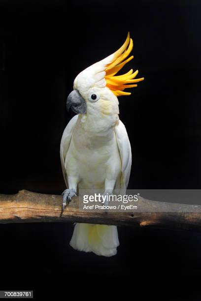 Close-Up Of Yellow Crested Cockatoo Perching Outdoors