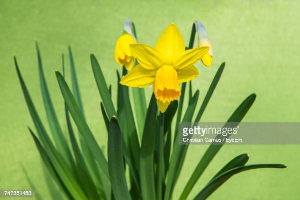 Close-Up Of Yellow Crocus Blooming Outdoors