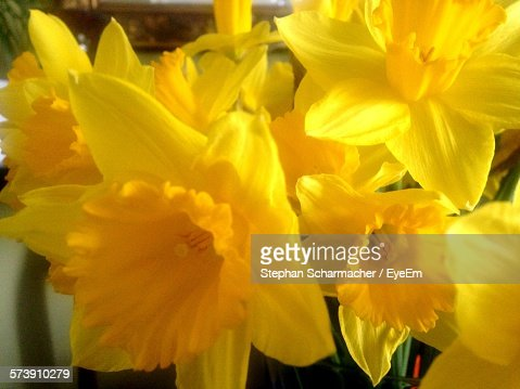 Close-Up Of Yellow Daffodils Blooming Outdoors
