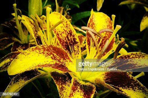 Close-Up Of Yellow Day Lily Flowers