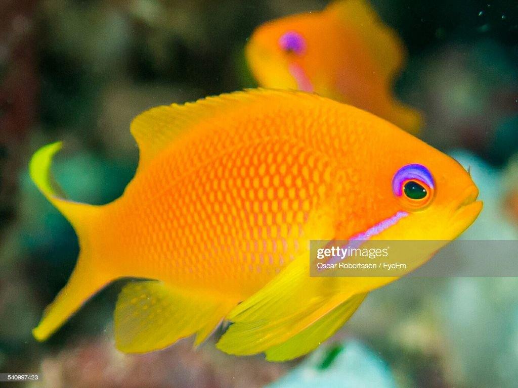 Closeup of yellow fish swimming undersea stock photo for Fish swimming video