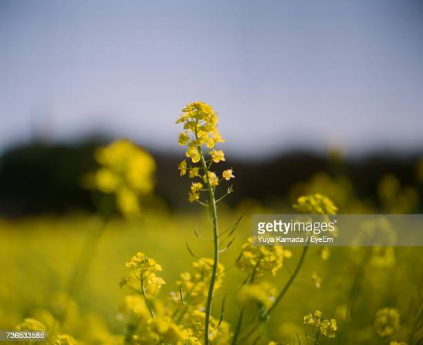 Close-Up Of Yellow Flower Growing In Field
