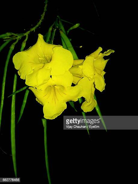 Close-Up Of Yellow Flowers Blooming On Field At Night