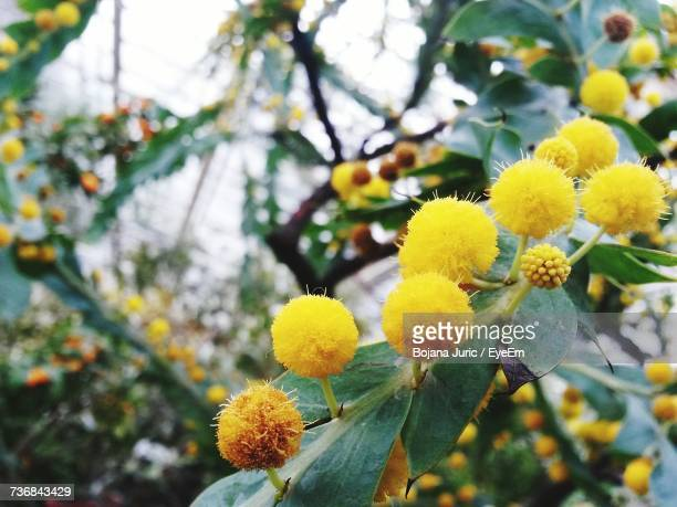Close-Up Of Yellow Flowers Blooming On Tree