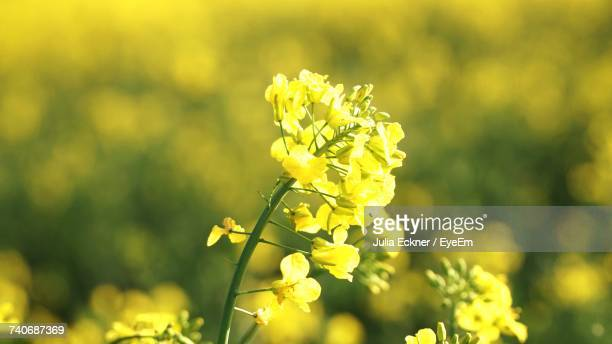 Close-Up Of Yellow Flowers Blooming Outdoors