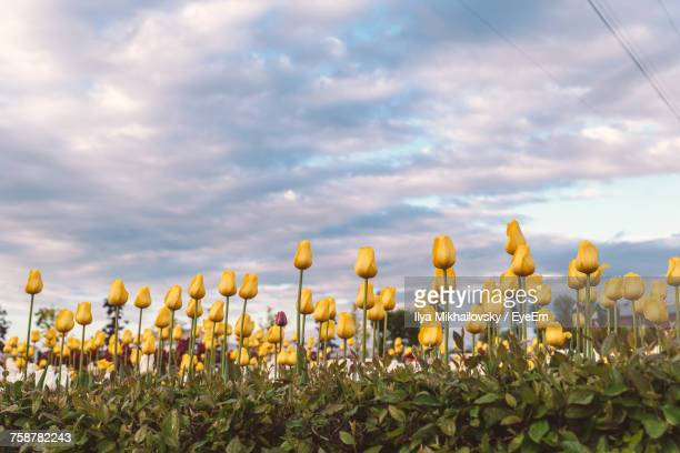 Close-Up Of Yellow Flowers Growing In Field Against Sky