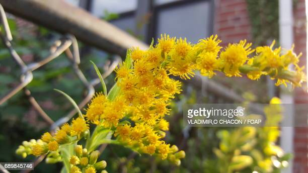 Close-up of yellow flowers near fence
