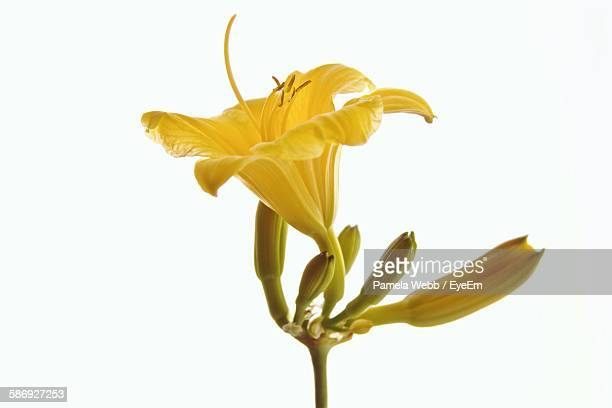 Close-Up Of Yellow Lily And Buds Against White Background