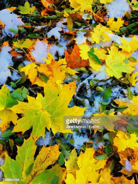 Close-Up Of Yellow Maple Leaves During Autumn