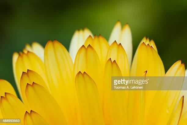 Closeup of yellow petals of a pot marigold flower