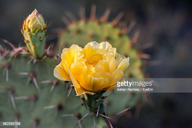 Close-Up Of Yellow Prickly Pear Cactus