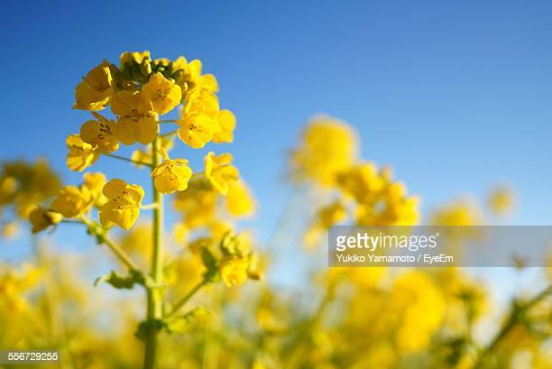 Close-Up Of Yellow Rapeseed Flower In Field Against Clear Sky