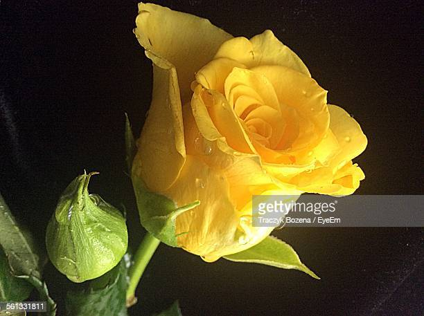 Close-Up Of Yellow Rose With Bud Against Black Background