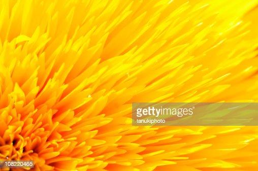 Close-up of Yellow Sunflower Petals