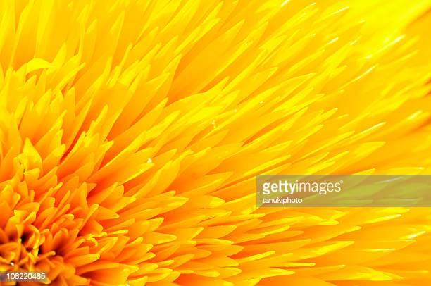 Nahaufnahme von gelbe Sonnenblume Blütenblätter