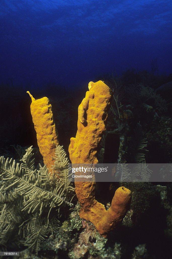 Close-up of Yellow Tube Sponge (Aplysina Fistularis) underwater, Cayman Islands, West Indies : Stock Photo