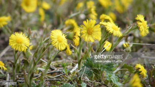 Close-Up Of Yellow Wildflowers