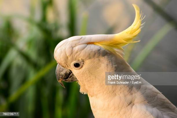 Close-Up Of Yellow-Crested Cockatoo Perching Outdoors