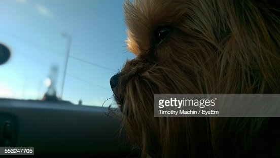Close-Up Of Yorkshire Terrier In Car