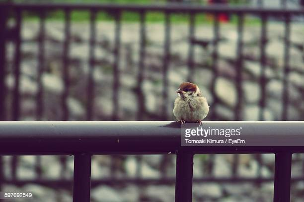 Close-Up Of Young Sparrow On Railing