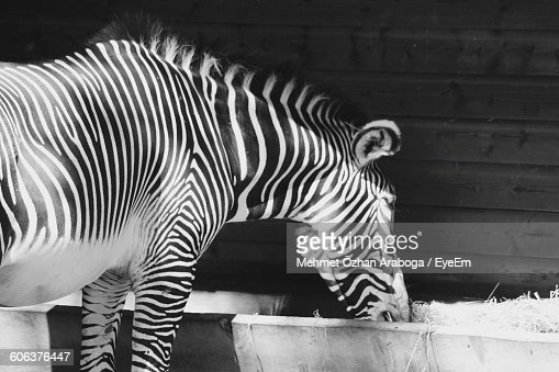 Close-Up Of Zebra Eating Against Wall
