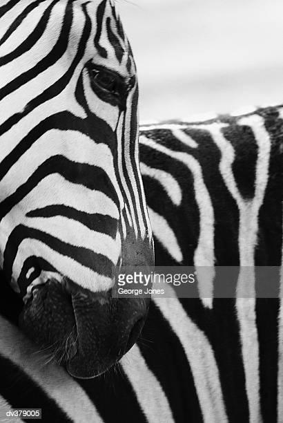 Close-up of zebra face and shoulder