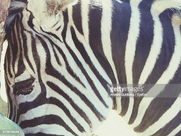 Close-Up Of Zebra