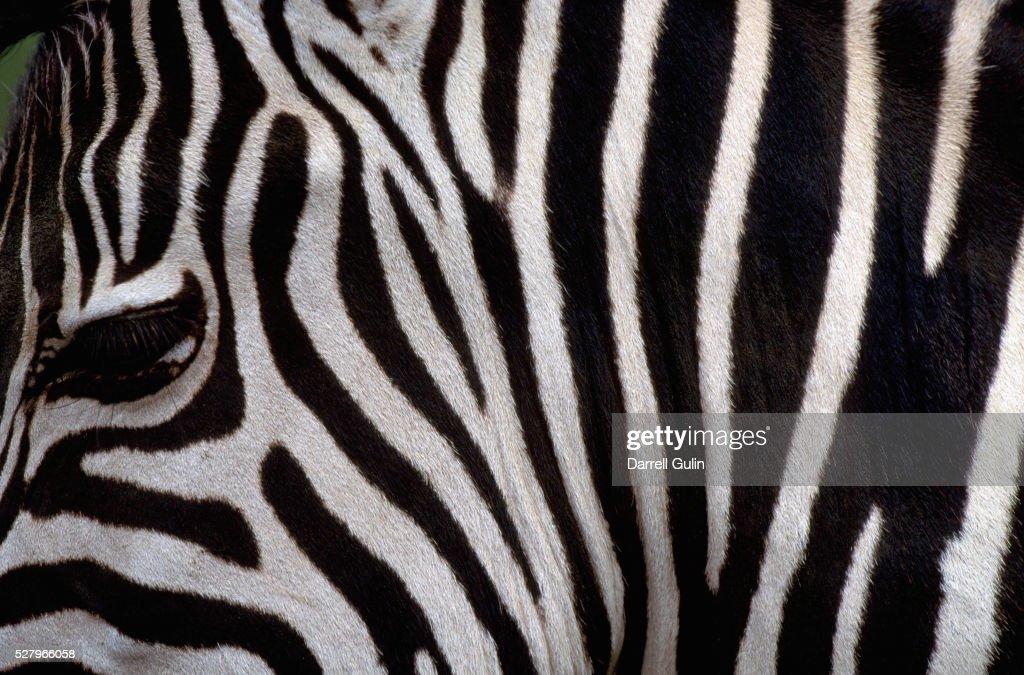 Close-Up of Zebra Stripes