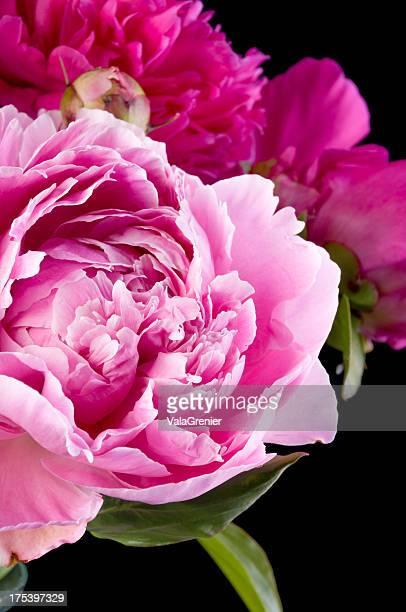 Closeup on medium pink peony.