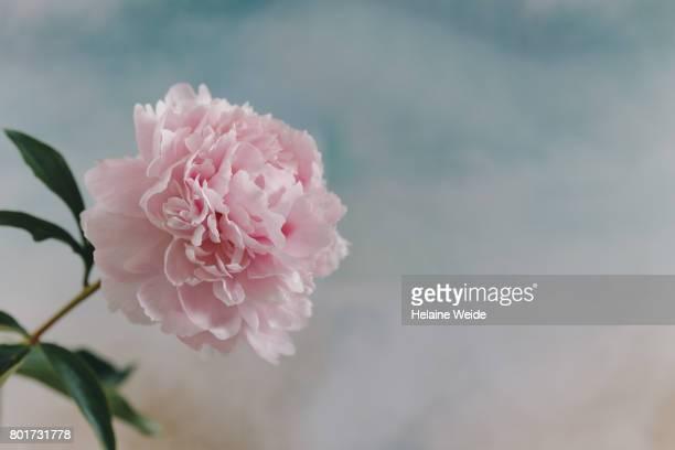close-up Peony Rose