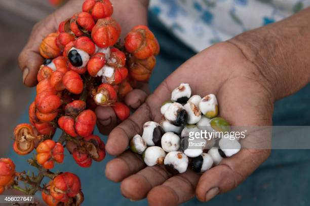 Close-up photo of a person's hands Guarana harvesting