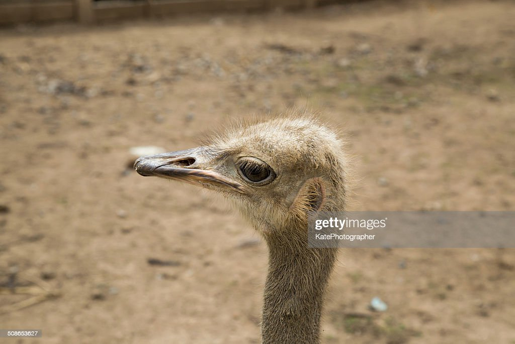 Closeup photo of cute emu bird. : Stock Photo