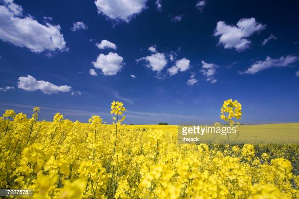 Close-up photo of flowers in a field and a bright blue sky