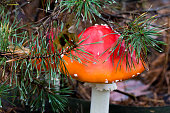 Close-up photo of red toadstool with white dots between needle and moss in forest in autumn or summer - blurred background
