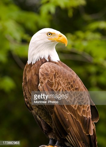 Close-up photograph of a bald eagle with trees behind him