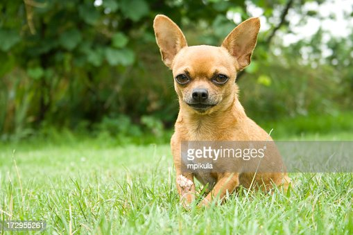 Close-up portrait of a chihuahua in the park