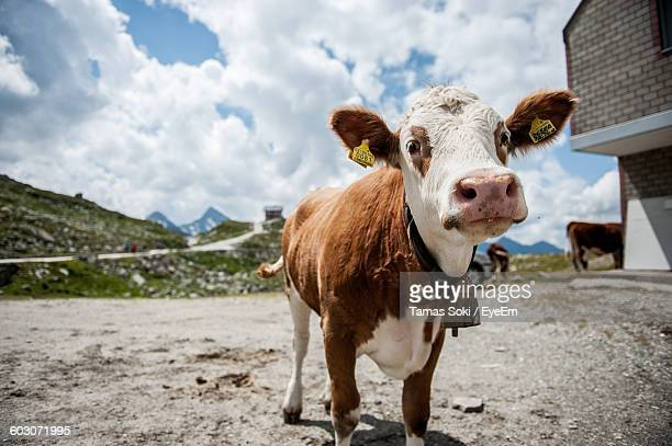 Close-Up Portrait Of A Cow On Landscape