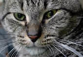 Closeup portrait of a gray tabby cat