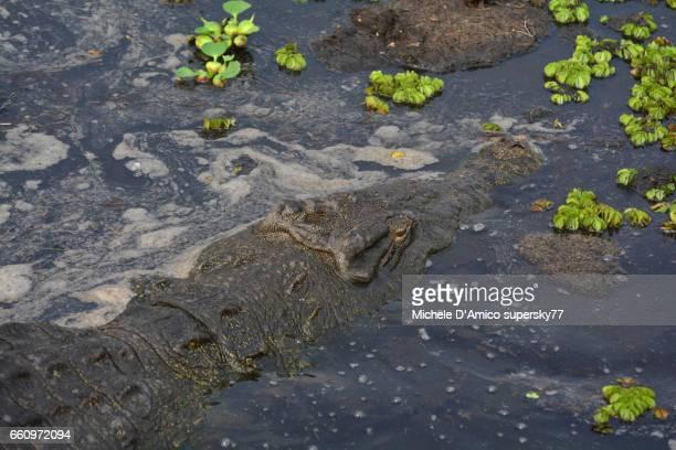 A closeup portrait of a huge Nile Crocodile (Crocodylus niloticus).