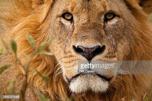 Close-up portrait of a majestic lion's solemn face
