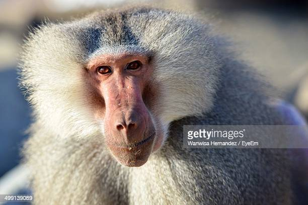 Close-up portrait of baboon staring